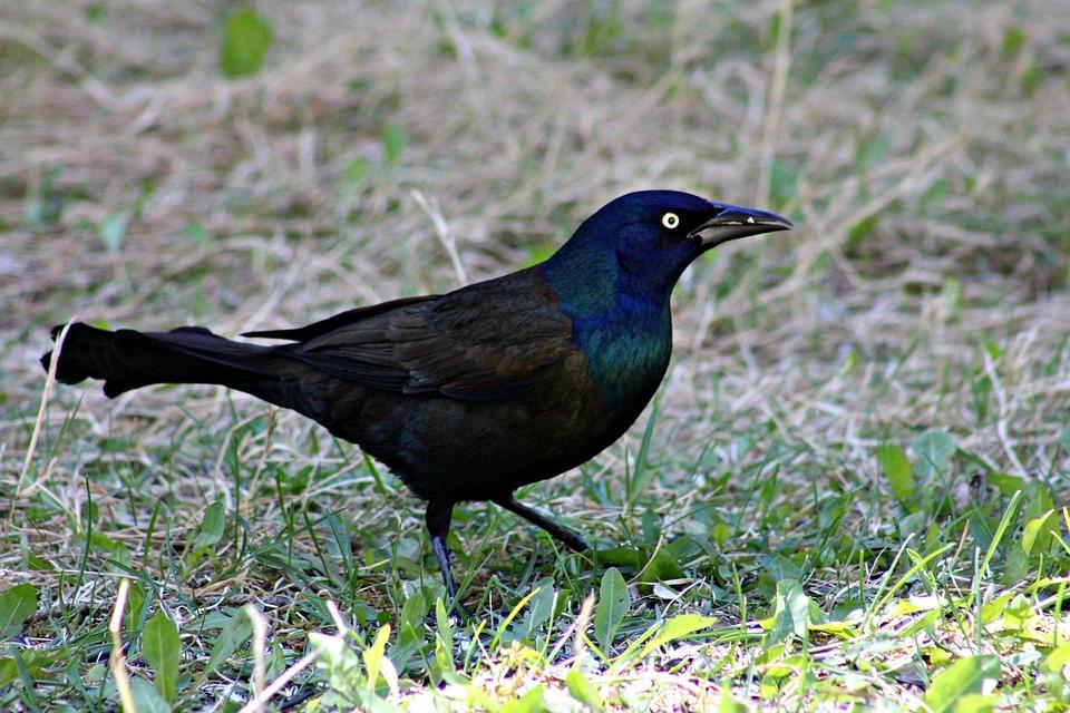 Www. čierne vtáky