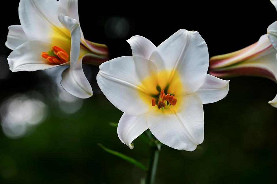 David lily lily white free photo on pixabay david lily lily white flowers lilium davidii plant mightylinksfo