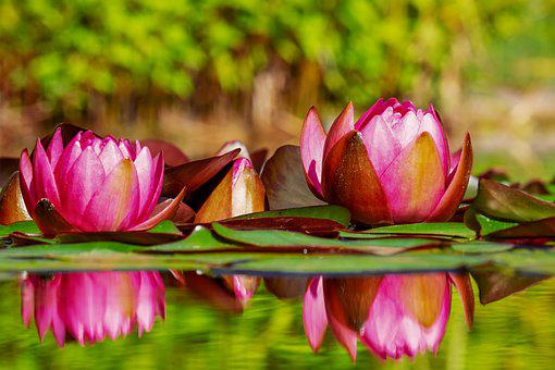 Water Lilies, Flowers, Bloom, Nature