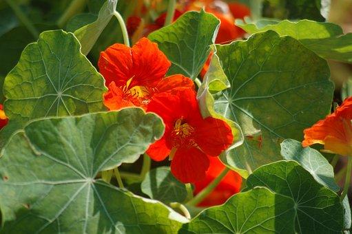 Orange Flower, Nasturtium, Bloom, Summer