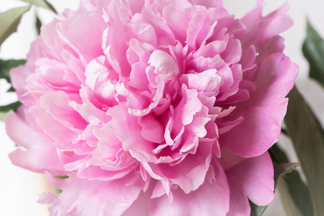 посещением цветы пионы фото красивые картинки себе избушку