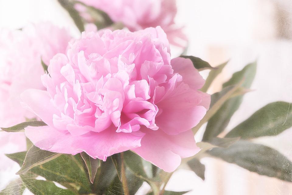 Pioni Kukka Pinkki Vaaleanpunainen - Ilmainen valokuva Pixabayssa