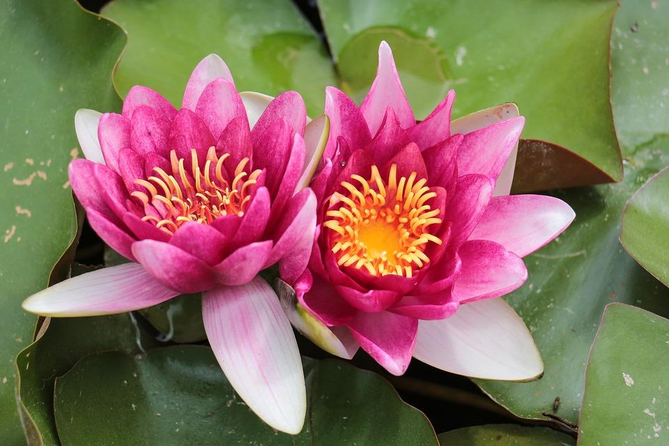 Unduh 56 Koleksi Gambar Bunga Lili Air HD Terbaik