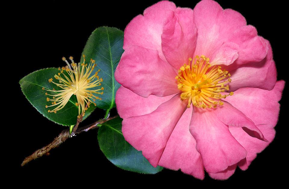 Image result for flor png sola