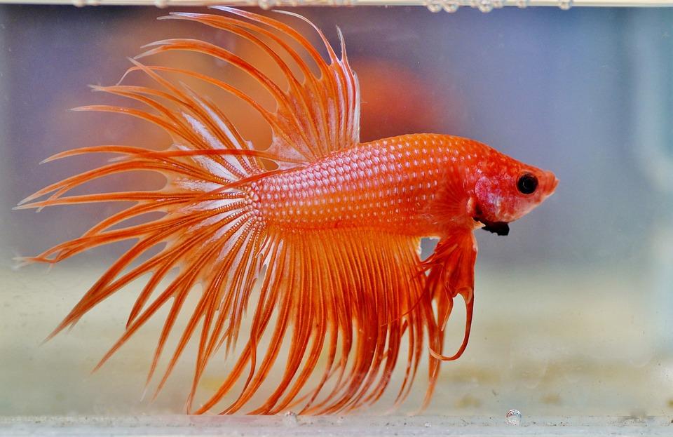 Low maintenance pets | Betta fish | Beanstalk Mums