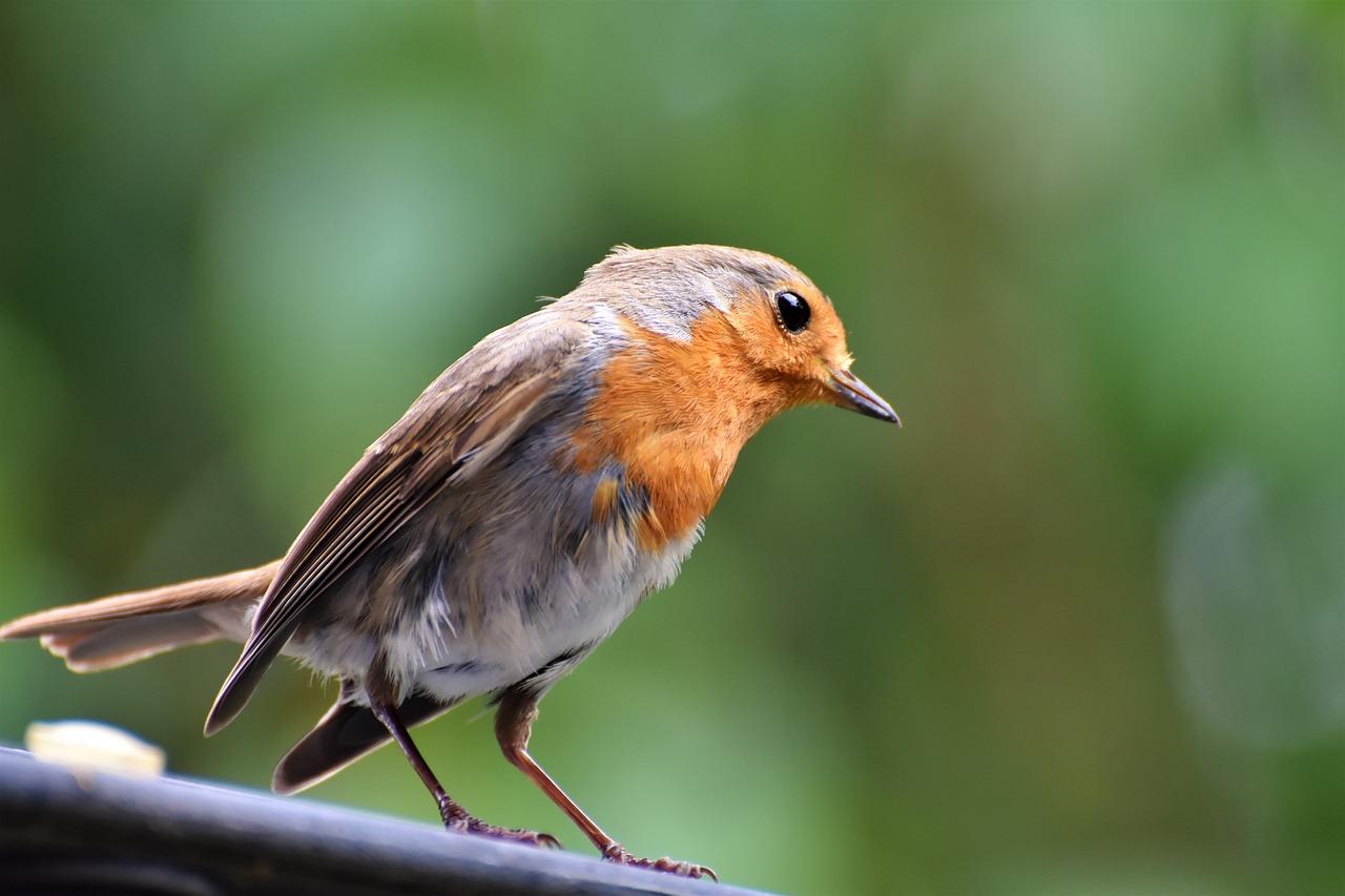 представляет себя певчие птицы украины фото ленсо