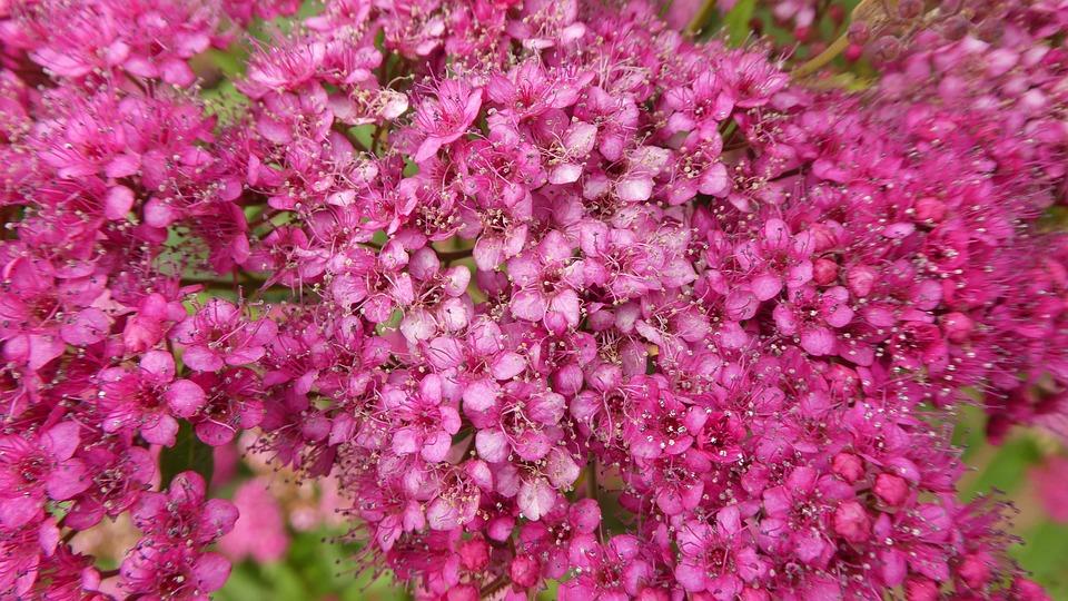 Pink Flowers Bush Spring Free Photo On Pixabay