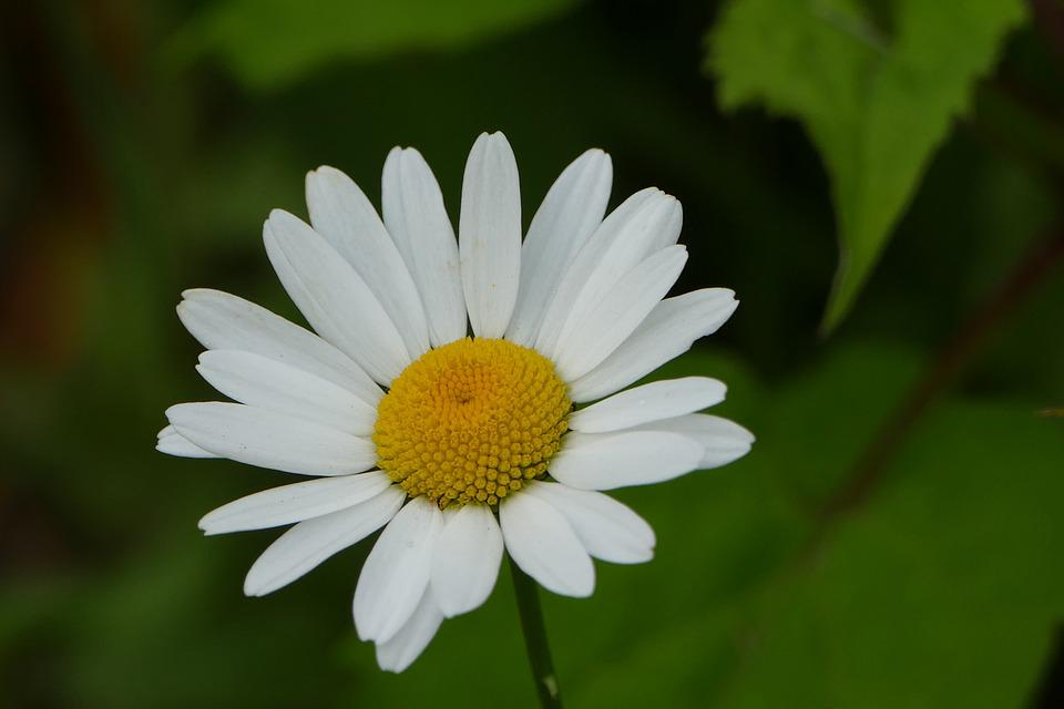 Fleur Marguerite Blanc Photo Gratuite Sur Pixabay