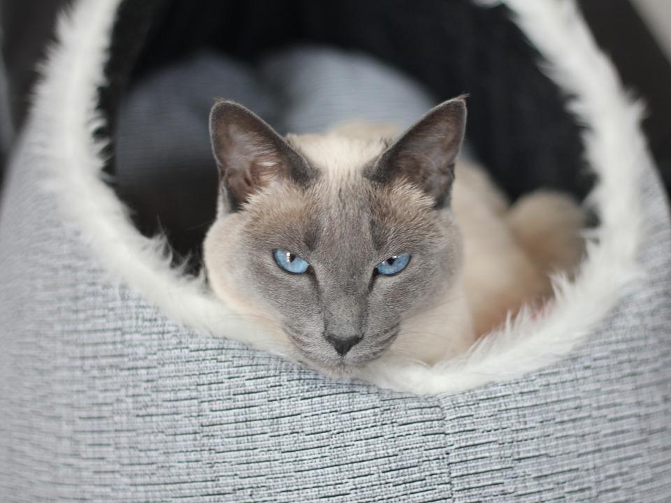 Cat Gatto Siamese Mieze Foto Gratis Su Pixabay