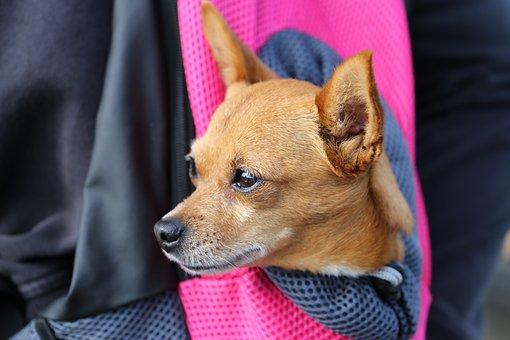 Kleine Hond In Tas, Chihuahua, Dierlijke