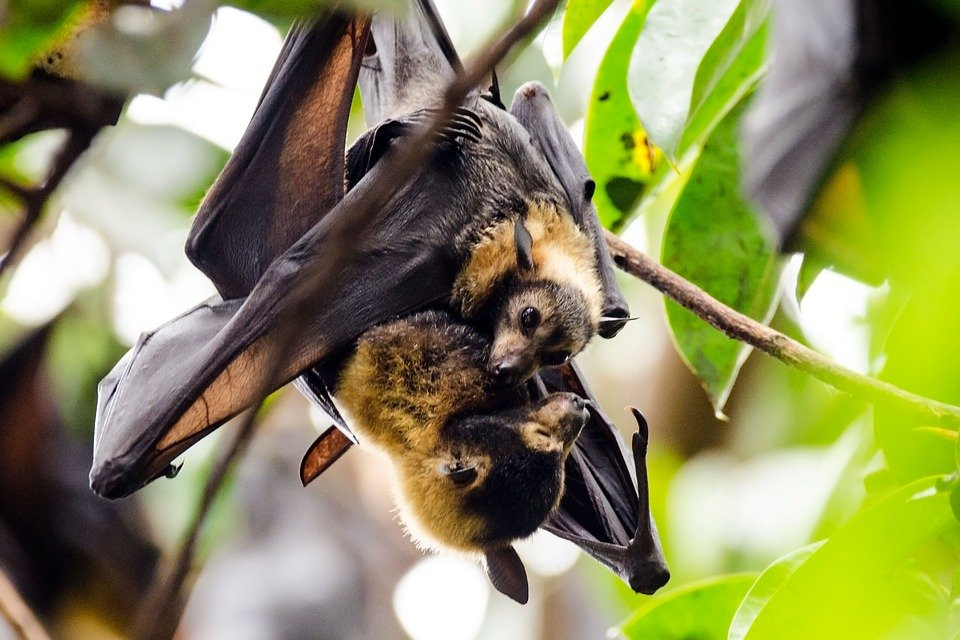 Bats, Flying Foxes, Spectacled Flying Fox, Wildlife