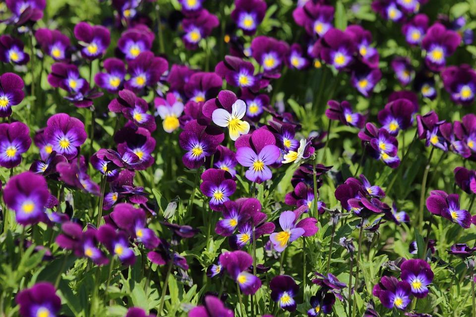 Immagini Fiori Violette.Violette Fiori D Estate Da Foto Gratis Su Pixabay