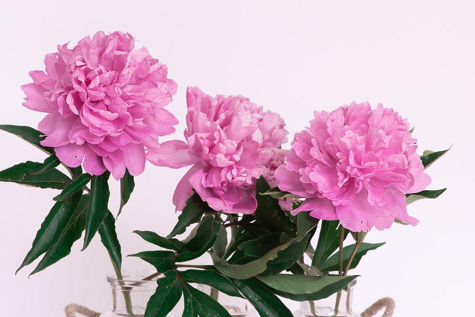 Pfingstrosen Rosa Kostenloses Foto Auf Pixabay