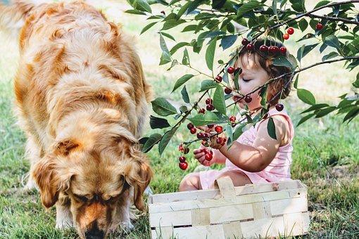 樱桃, 集合的, 儿童, 村, 水果, 树, 新鲜, 悲伤, 吃, 营养, 健康