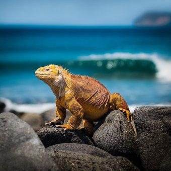 Iguana, Lagarto, Galápagos, Mar, Reptil
