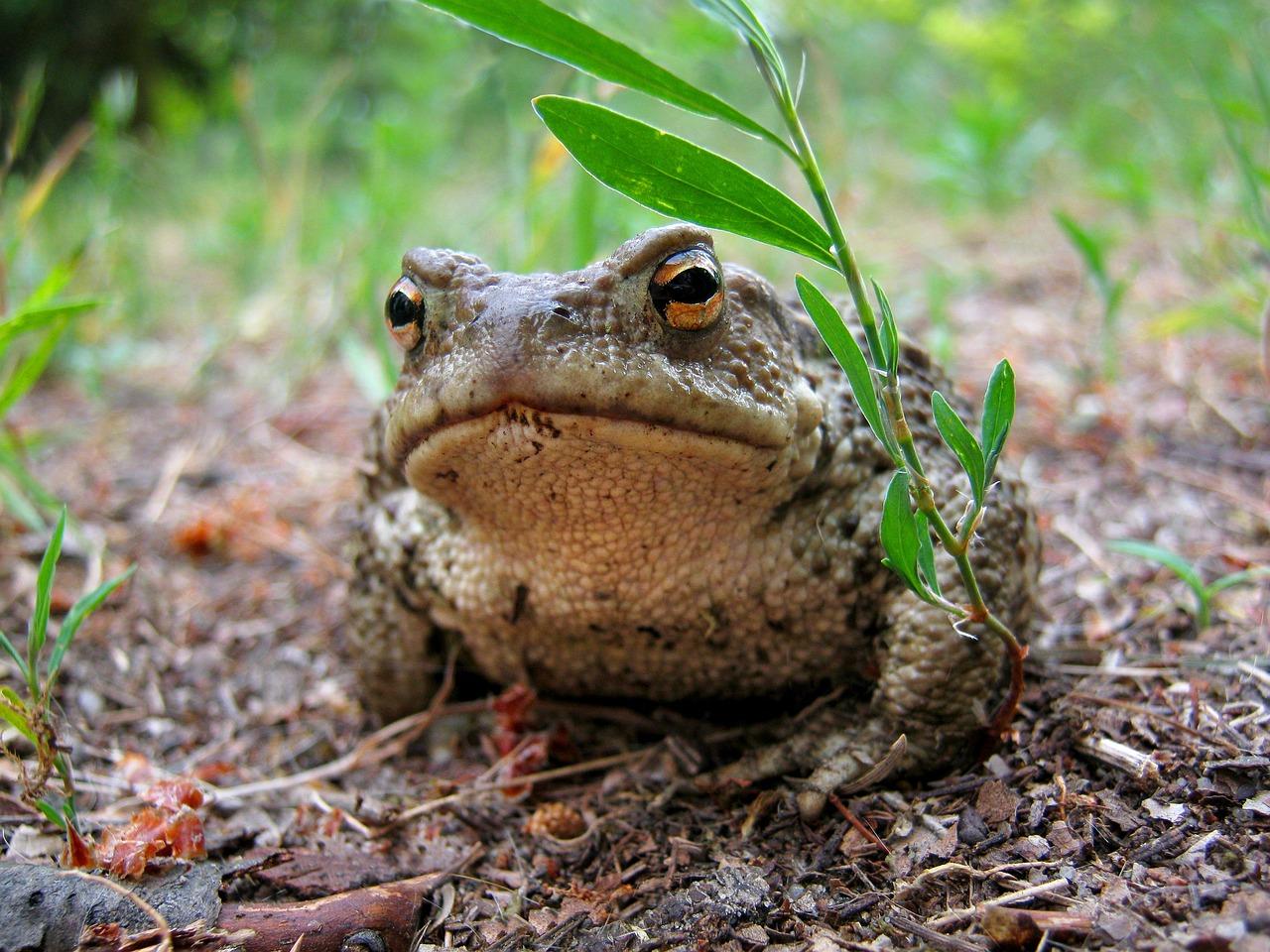 виды жаб фото и названия как ложилась