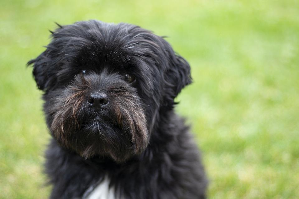 hond black boomer - gratis foto op pixabay