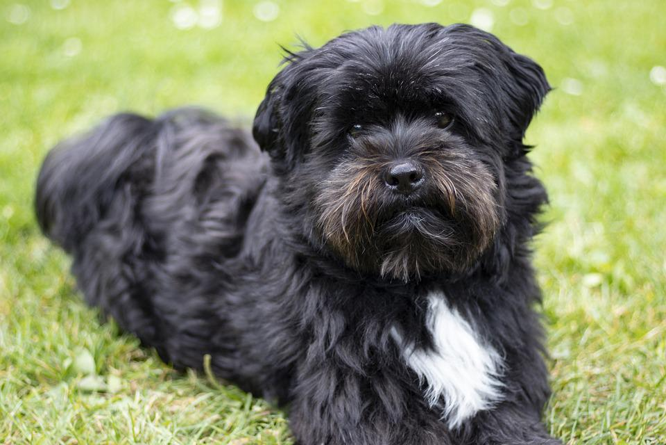 dog black boomer - free photo on pixabay