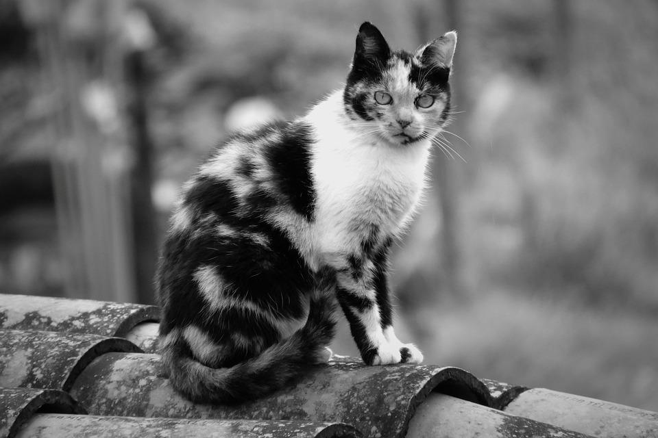 Gambar Kucing Hitam Putih godean.web.id