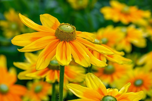 Yellow flowers images pixabay download free pictures high hat rudbeckia nidita flower mightylinksfo