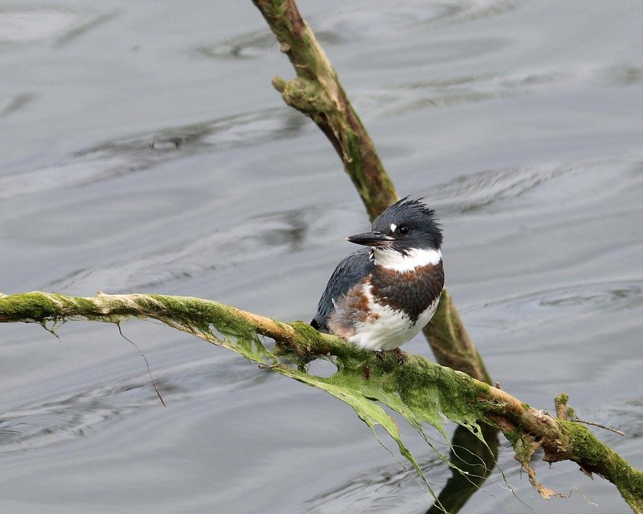 Image result for free image of kingfisher bird