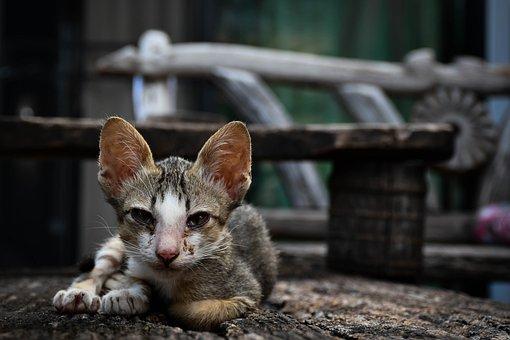 Kucing, Hewan Peliharaan, Anak Kucing