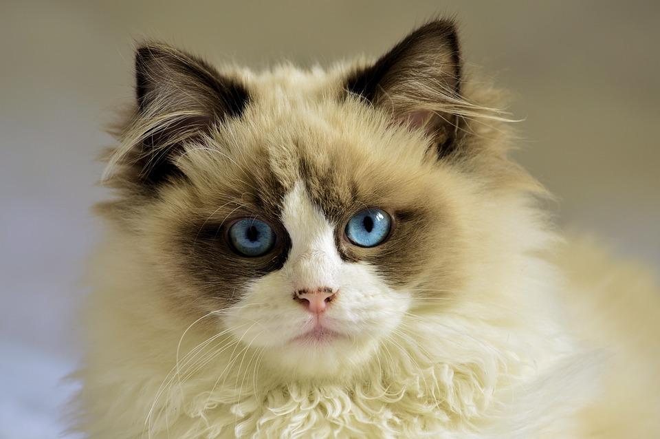 Kot, Koci, Pet, White, Młody, Niebieskie Oczy
