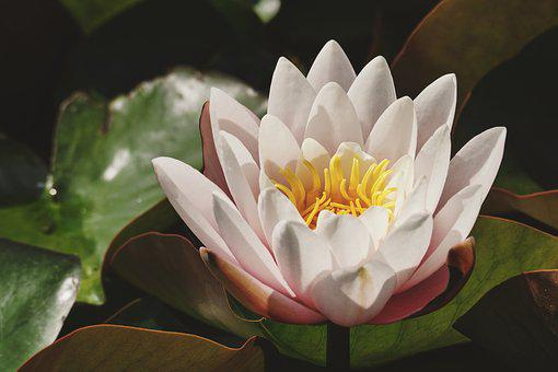 White lily images pixabay download free pictures water lily white lily pond blossom mightylinksfo