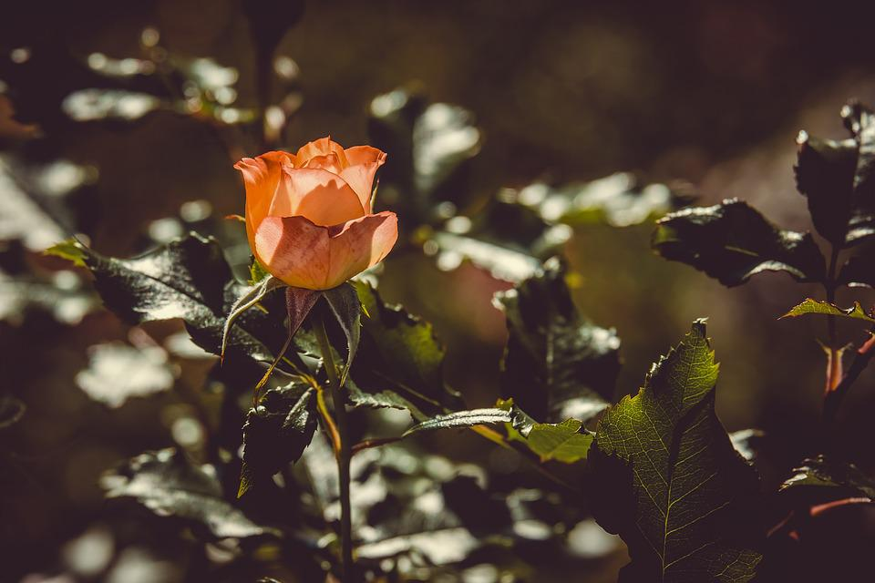 Rose, Backlighting, Flower, Blossom, Bloom, Orange