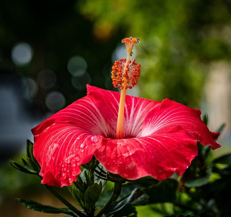 Chinese Hibiscus Flower Stamen Free Photo On Pixabay