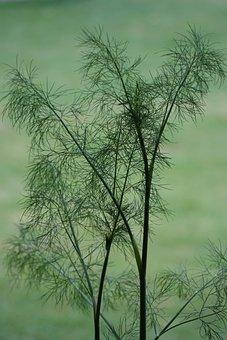À L'Aneth, Herbe, Plantes, Jardin, Vert