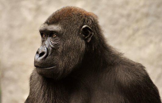 Gorilla, Monkey, Ape, Evolution, Animal