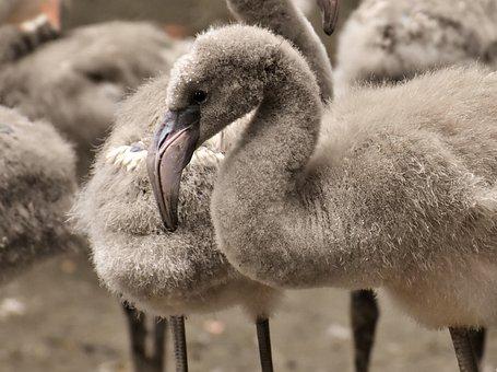 Flamingo, Young Animal, Chicks, Bird