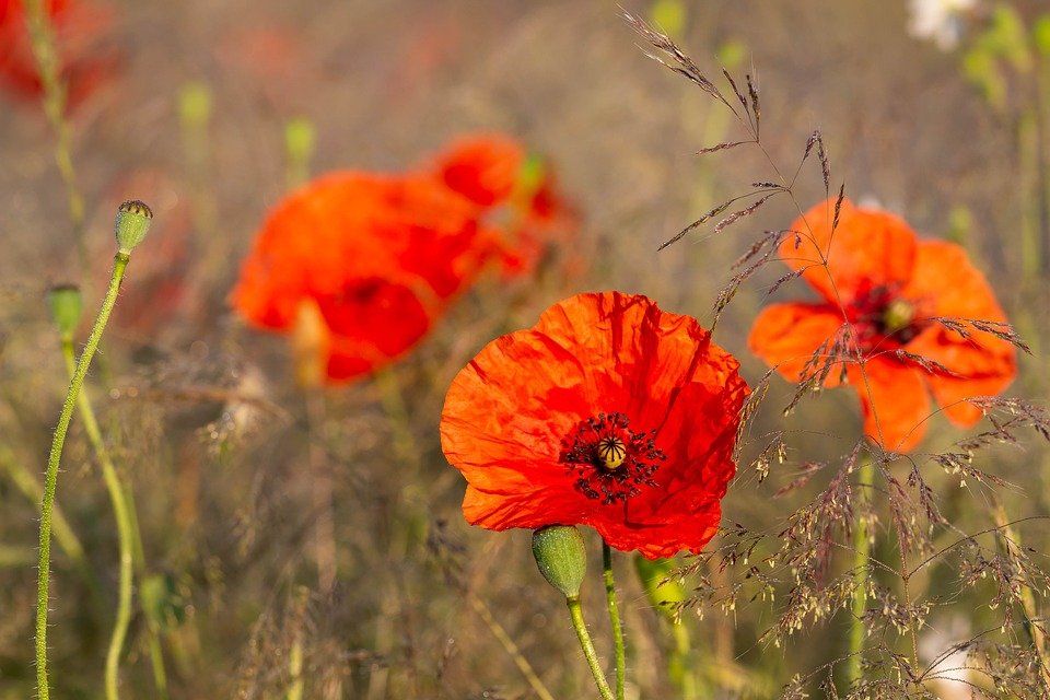 Poppies flowers poppy free photo on pixabay poppies flowers poppy flower figure red summer mightylinksfo