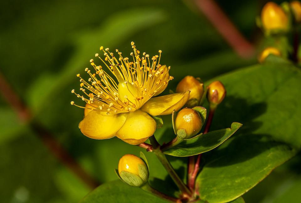 St John'S Wort Hypericum - Free photo on Pixabay