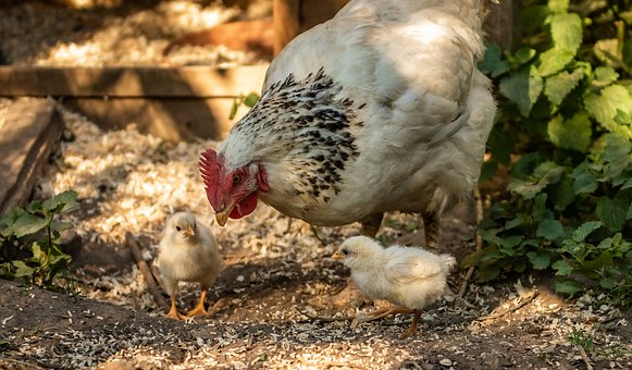 200+ Free Hens Chicks & Chicken Images - Pixabay