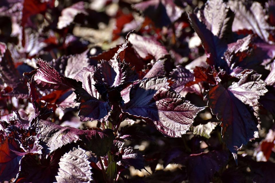 Perilla Frutescens, Lamiaceae, Impianto, Foglie, Rosso
