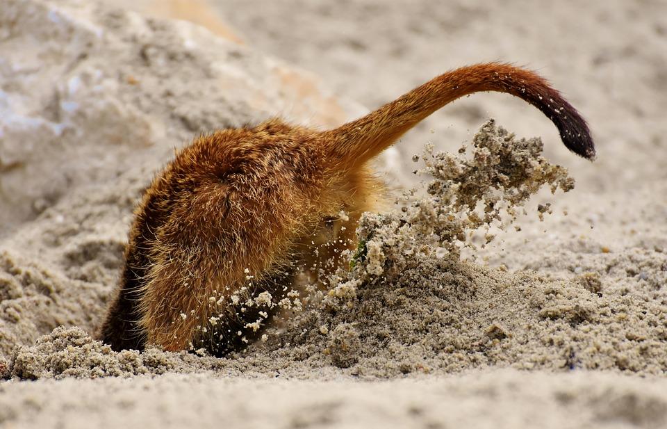 Kop In Het Zand Steken, Stijlfiguur, Meerkat, Graven