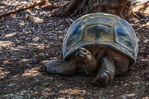 Turtle, Giant, Reptile, Tortoise, Animal