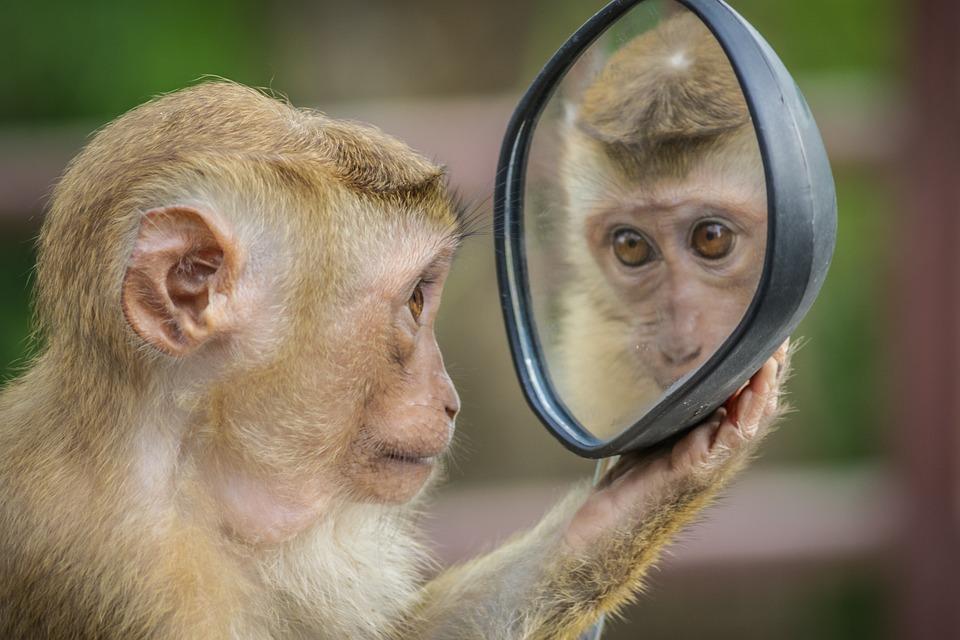 Mono, Espejo, Mirar, Pensamiento, Inteligencia emocional