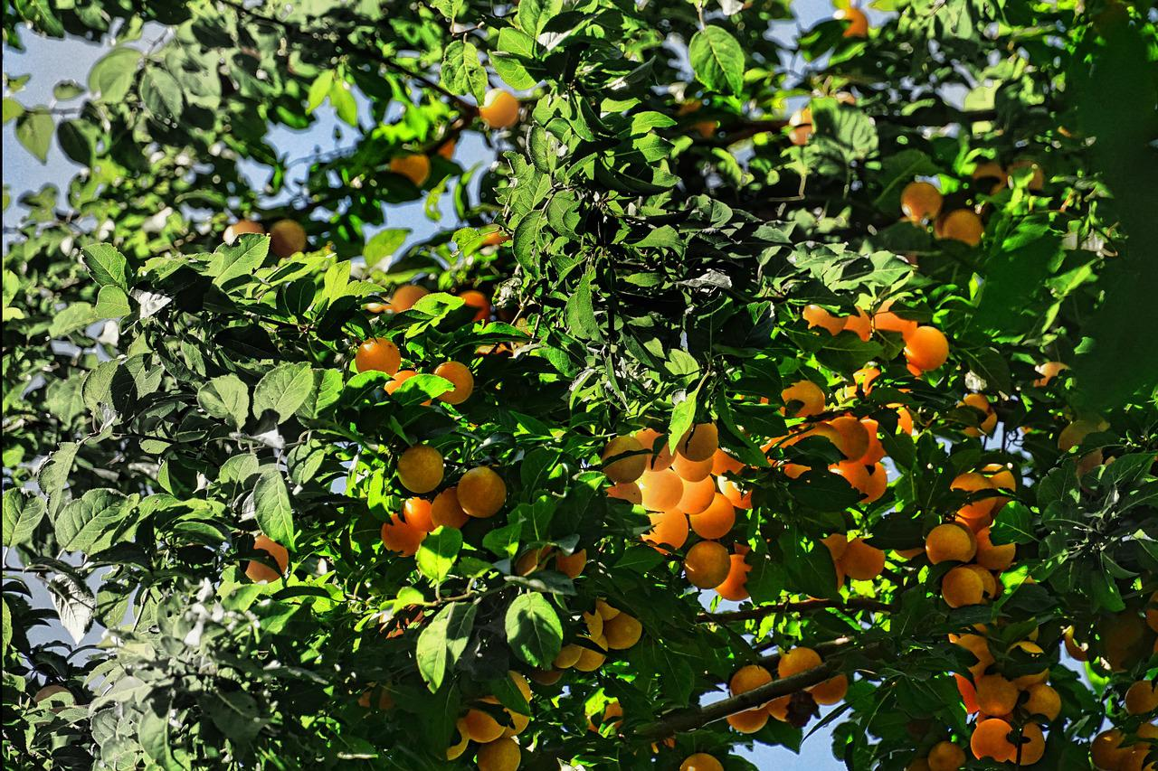 пара фрукты растут на деревьях картинки зеленая большая