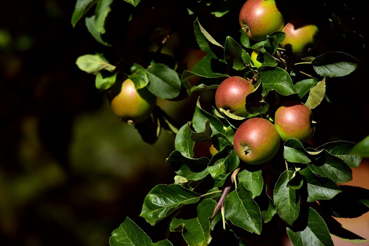картинки листья яблоками журналы, рисунки