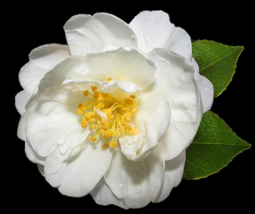 Flower White Camellia Free Photo On Pixabay
