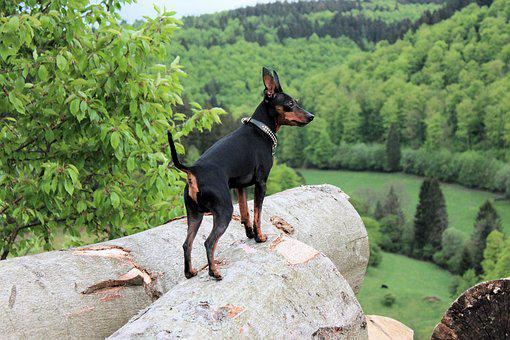 Miniature Pinscher Puppies For Sale in Indiana