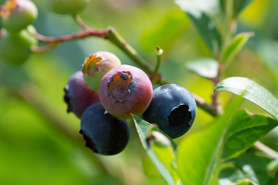 blåbær modne