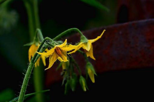 Nature, Plantes, Plant De Tomate