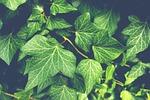 ivy, plant, garden