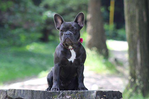 French Bulldog Photos Pixabay Download Free Images