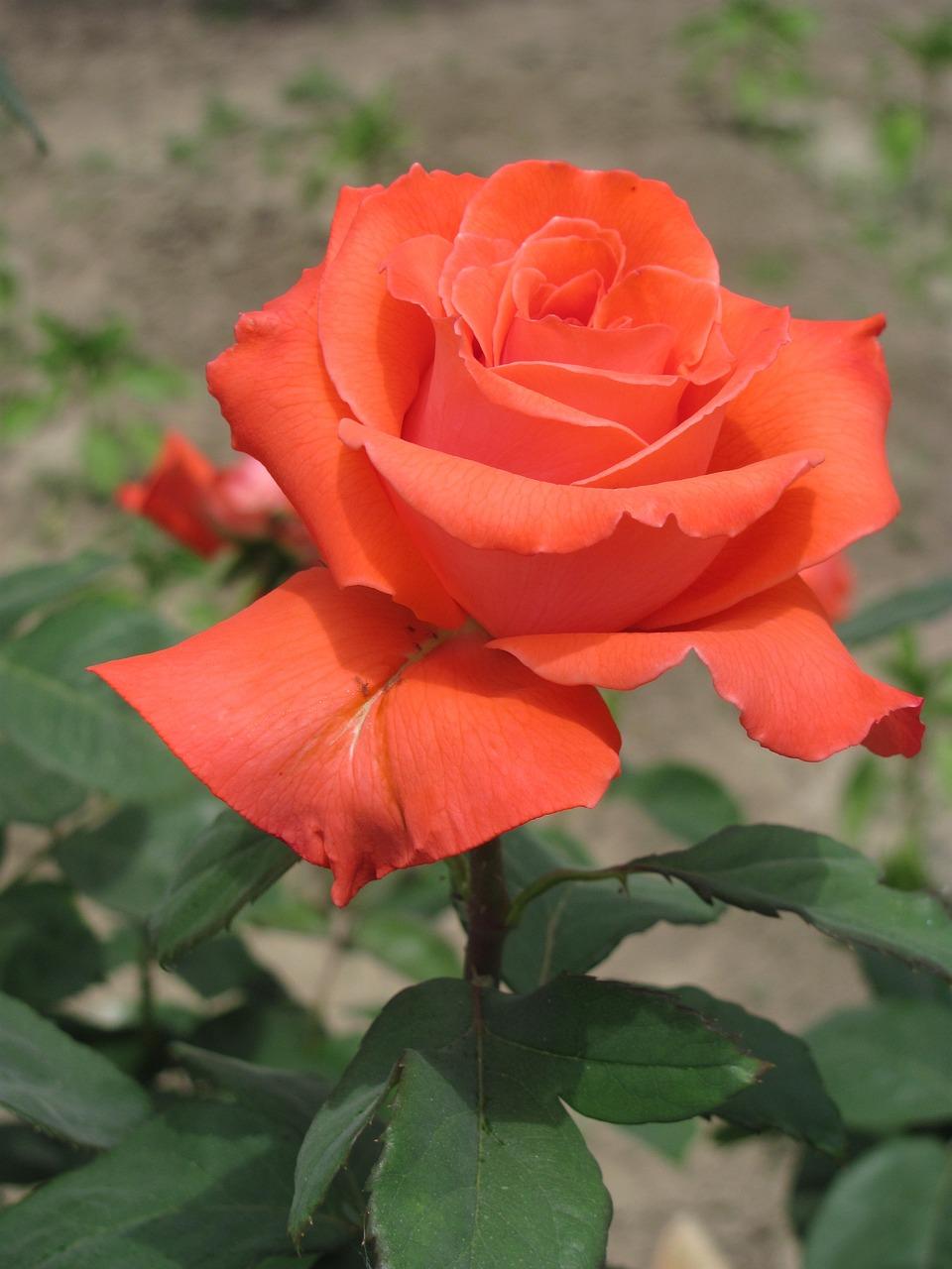 картинки с морковным цветом розы осмотрели лес