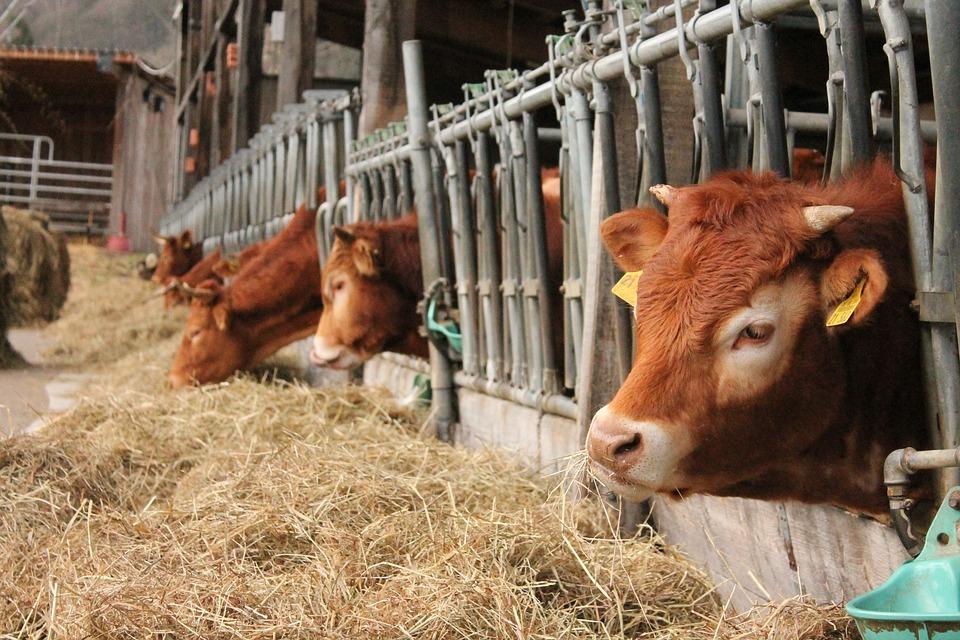 Køer, Stabil, Bio, Gård, Landbrug, Dyr, Oksekød, Spise